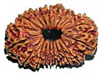 1 to 21 mukhi rudraksha collection, rare rudraksha beads